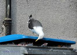 Seagull eating out of wheelie bin